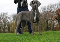 duitse-dog grijs
