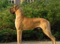 duitse-dog puppy