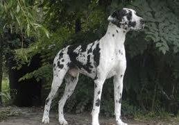 duitse-dogs
