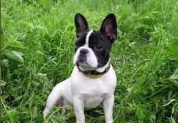 franse-bulldog pups