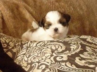 shihtzu-puppy - hondenrassen
