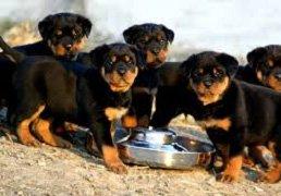 rottweilerpuppies