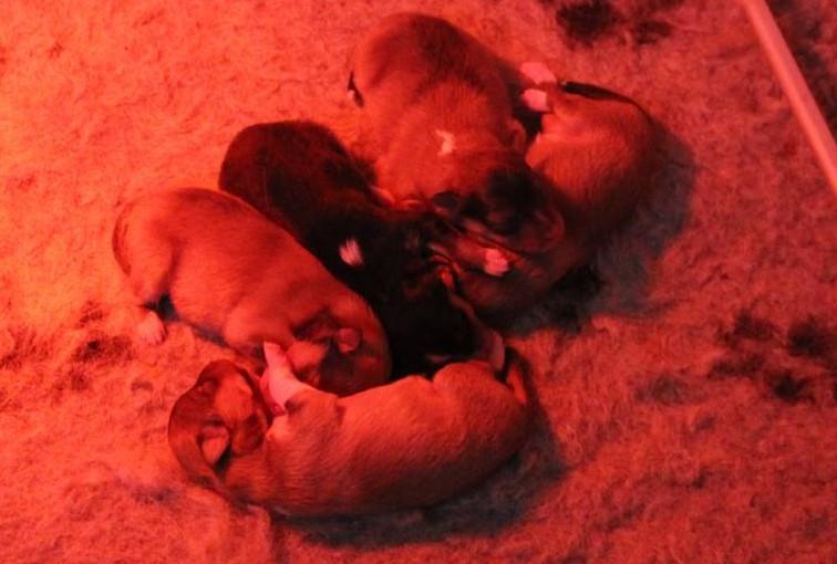 sheltie pups