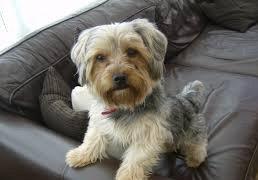yorkshireterrier hond