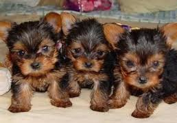 yorkshireterrier pups
